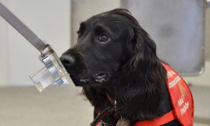 Dog trained to detect cancer by smell