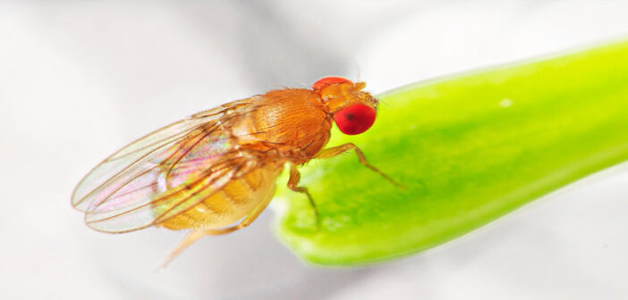 Mechanism of cancer-induced wasting identified in flies