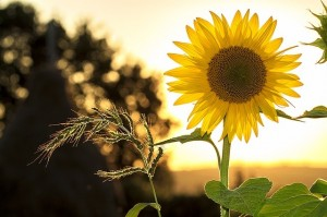 Sunflower_oncology news australia