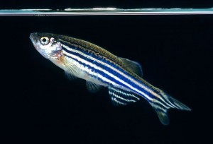 Zebrafish_oncology news australia