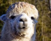 'Nanobodies' from alpacas could help bring CAR T-cell therapy to solid tumours