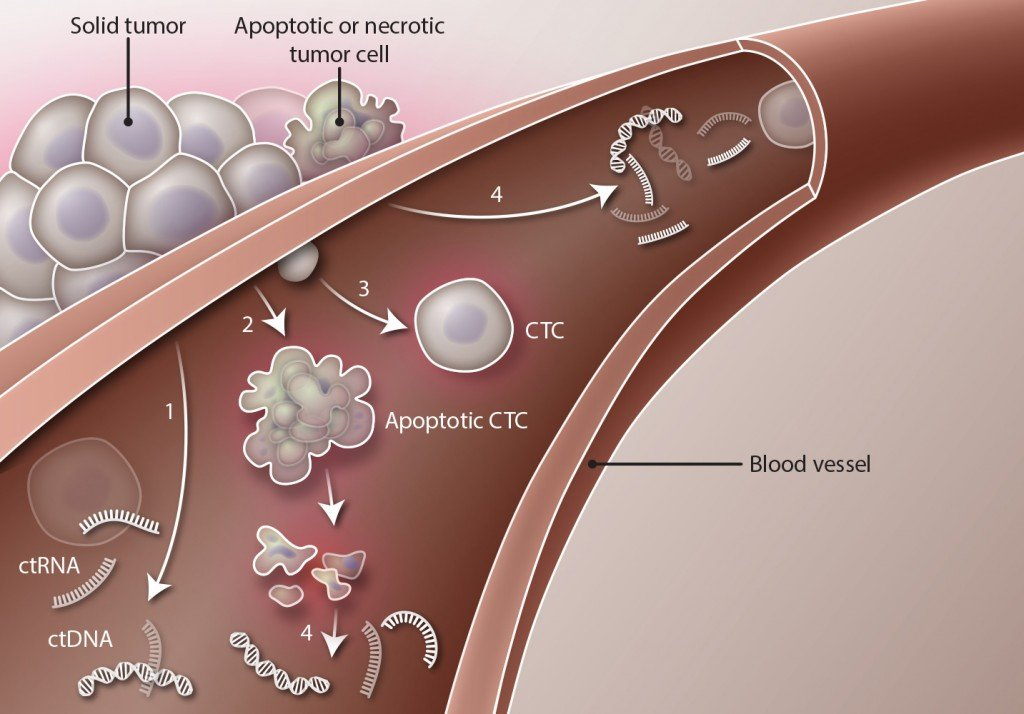 Source of liquid biopsy tumor material. Solid tumor masses may shed (1) circulating tumor DNA (ctDNA) and circulating tumor RNA (ctRNA), (2) apoptotic circulating tumor cells (CTCs), or (3) intact CTCs into the circulation. In addition, ctDNA and ctRNA may enter the bloodstream after apoptosis of circulating and noncirculating tumor cells (4). Credit: H. McDonald / Science Translational Medicine
