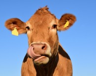 cow dairy stock outdoor_oncology news australia