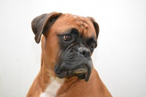 dog boxer breed_oncology news australia