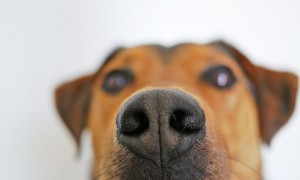 dog sniffing nose_oncology news australia