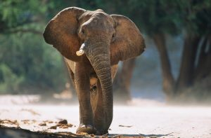 elephant_oncology news australia