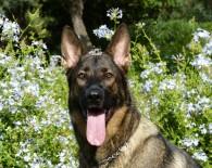 german-shepherd oncology news australia