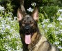 german-shepherd oncology news australia