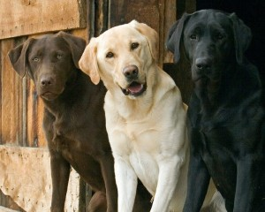 lab retriever dog_oncology news australia_800x500