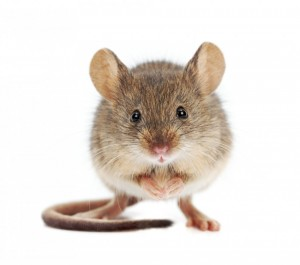 mouse model study_oncology news australia