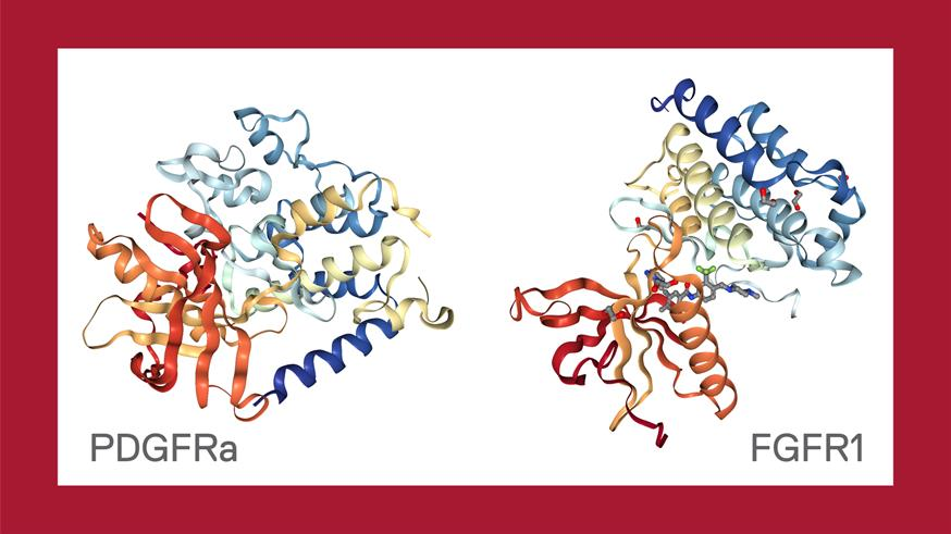 Protein structures of two receptor tyrosine kinases PDGFRa and FGFR1 (shown in complex with ponatinib), the genes of which exhibit increased expression in rhabdoid tumour patients. Structural information obtained from RSCB Protein Data Bank and visualized with the NGL protein viewer.