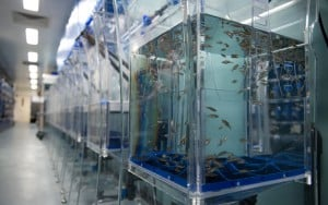 Zebrafish spawning tanks at Boston Children's.