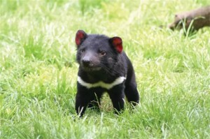 tasmanian devil_oncology news australia